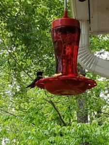 First Humming Bird